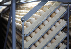 Ovos da galinha na incubadora fotografia de stock royalty free