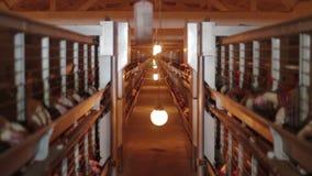 Ovos da galinha na produção das aves domésticas da fábrica video estoque