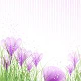 Ovos da páscoa com açafrões cor-de-rosa Fotografia de Stock Royalty Free