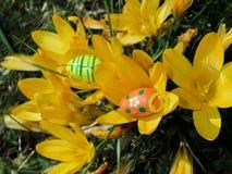 Ovos da páscoa na frente dos açafrões Fotografia de Stock