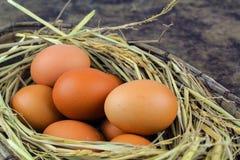 Ovos de Brown em ovos de galinha do ninho Imagem de Stock