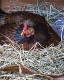 Ovos de choque da galinha no ninho fotografia de stock royalty free