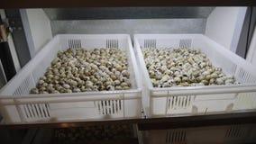Ovos de codorniz na incubadora filme