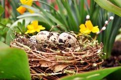 Ovos de codorniz no cenário da mola do ninho Fotos de Stock Royalty Free