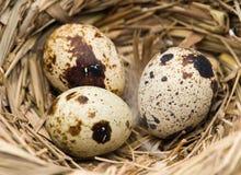 Ovos de codorniz no close-up do ninho Imagem de Stock