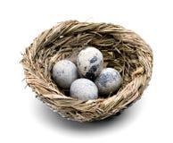 Ovos de codorniz no close-up do ninho Imagens de Stock