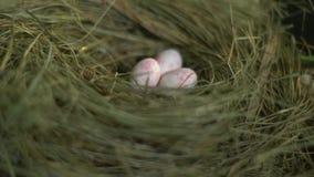 Ovos de codorniz no ninho