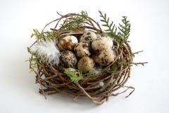 Ovos de codorniz no ninho com as penas no fundo branco foto de stock royalty free