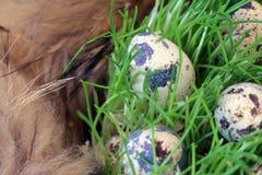 Ovos de codorniz no ninho da grama fresca Fotografia de Stock