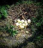 Ovos de ganso Fotos de Stock Royalty Free