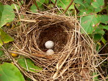 Ovos de ninho imagem de stock