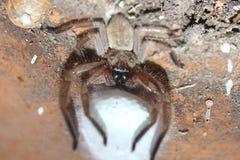 Ovos de proteção da aranha fotos de stock royalty free