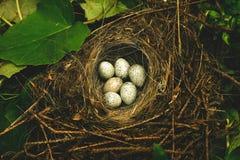 Ovos de um pássaro em um ninho em uma grama Fotografia de Stock Royalty Free