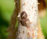 Ovos do inseto em um ramo de árvore Close-up imagem de stock