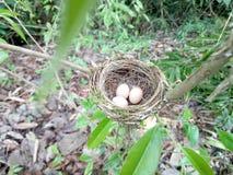 Ovos do pássaro em um ninho Fotos de Stock