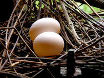 Ovos do pombo Fotografia de Stock