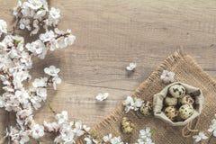 Ovos do ramo e de codorniz da flor da árvore de abricó em um saco Imagem de Stock