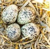 Ovos dos cervos da matança em um ninho Imagens de Stock