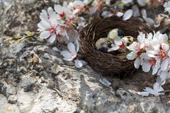 Ovos e flor de codorniz Fotografia de Stock