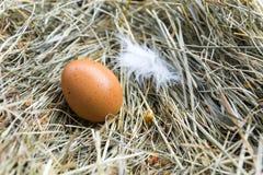 Ovos e penas da galinha no feno Front View Feno, grama seca Imagens de Stock