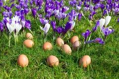 Ovos fracos na grama com açafrões de florescência Foto de Stock Royalty Free