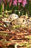 Ovos manchados em um espaço nestCopy Foto de Stock Royalty Free