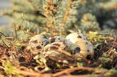 Ovos manchados em um ninho Foto de Stock Royalty Free