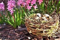 Ovos manchados em um ninho e em jacintos do jardim Fotos de Stock