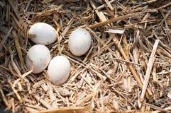 Ovos no ninho imagens de stock