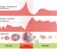 Ovulation chart Stock Image