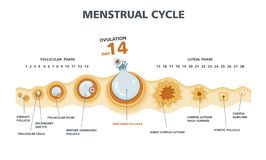 Free Ovulation Chart. Female Menstrual Cycle Stock Photos - 142482593