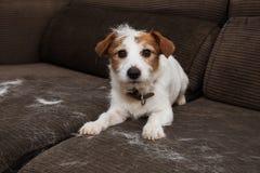 OWŁOSIONY JACK RUSSELL pies, ZRZUCA włosy PODCZAS MOLT sezonu BAWIĆ SIĘ NA kanapie zdjęcia stock