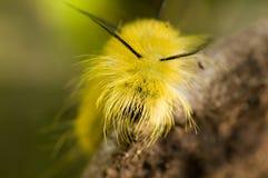 Owłosiona żółta gąsienica Fotografia Stock
