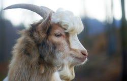 Owłosiona farmyard kózka z kędzierzawym włosy Obraz Royalty Free