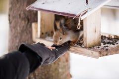 Owłosiona szara wiewiórka je słonecznikowych ziarna i dokrętki siedzi wewnątrz, Zdjęcia Stock