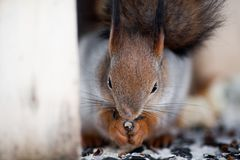 Owłosiona szara wiewiórka je słonecznikowych ziarna i dokrętki siedzi wewnątrz, Obrazy Royalty Free