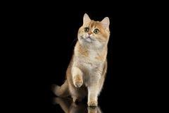 Owłosionego Brytyjskiego kota Złocista Szynszylowa pozycja i dźwiganie łapa, Czarna zdjęcia stock