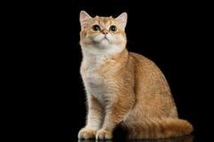 Owłosionego Brytyjskiego kota Złocisty Szynszylowy obsiadanie, Przyglądający up, czerń zdjęcie stock
