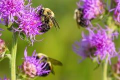 Owłosiony śliczny mamrocze pszczoły karmi i zapylać na jest purpurowym szorstkim płonie gwiazdowym kwiatem co wierzę - gładzi zie zdjęcie stock