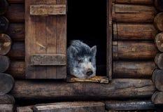 Owłosiony świniowaty obsiadanie w domu obraz stock