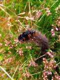 Owłosiony Caterpillar zdjęcie royalty free