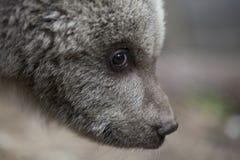 owłosiony dziecko niedźwiedzia zbliżenia portret Zdjęcie Stock