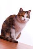 Owłosiony kot Zdjęcia Royalty Free