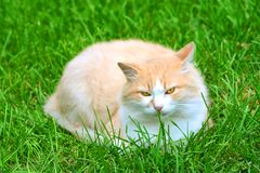 Owłosiony kot na zielonej trawie obraz royalty free