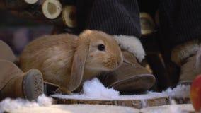Owłosiony królik wśród dziecka ` s cieków obwąchuje sztuczny śnieg zdjęcie wideo