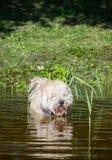 Owłosiony psi dopłynięcie przy jeziorem z płochami przy suuny letnim dniem zdjęcie stock