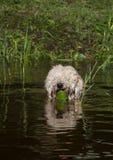 Owłosiony psi dopłynięcie przy jeziorem z płochami przy suuny letnim dniem fotografia stock