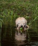 owłosiony psi dopłynięcie przy wodą z płochami przy suuny letnim dniem zdjęcia stock
