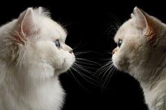 Owłosionych Brytyjskich trakenów kotów biały kolor na Odosobnionym Czarnym tle Fotografia Stock