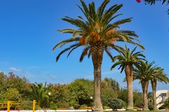 Ow drzewka palmowe wzdłuż Maleme Zdjęcia Royalty Free